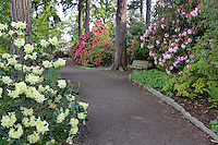 Path with bloominmg rhododendrons at Crystal Gardens. Portland. Oregon