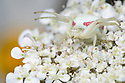 White form of Goldenrod Crab Spider (Misumenia vatia) camouflaged on umbellifer flowers waiting to ambush its prey. Devon, UK. June.