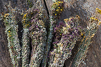 Räucherbüschel binden. Räuchern, Räucherbündel, Räucherbüschel, Räucherritual, Sommersonnenwende, Räuchern mit Kräutern, Kräuter verräuchern, Wildkräuter, Duftkräuter, Duft, Feuer, Outdoor, Feuerstelle, Campen. fire, Smoking with herbs, wild herbs, aromatic herbs, fumigate, cure, bonfire, campfire, camping. Oregano, Wilder Dost, Echter Dost, Gemeiner Dost, Oreganum, Origanum vulgare, Oregano, Wild Marjoram. Tüpfel-Johanniskraut, Echtes Johanniskraut, Tüpfeljohanniskraut, Hypericum perforatum, St. John´s Wort. Gewöhnlicher Beifuß, Beifuss, Artemisia vulgaris, Mugwort, common wormwood. Rainfarn, Rain-Farn, Tanacetum vulgare, Chrysanthemum vulgare, Tansy. Walnussblätter, Walnuß, Walnuss, Walnuß, Wal-Nuss, Wal-Nuß, Juglans regia, Walnut, Noyer commun