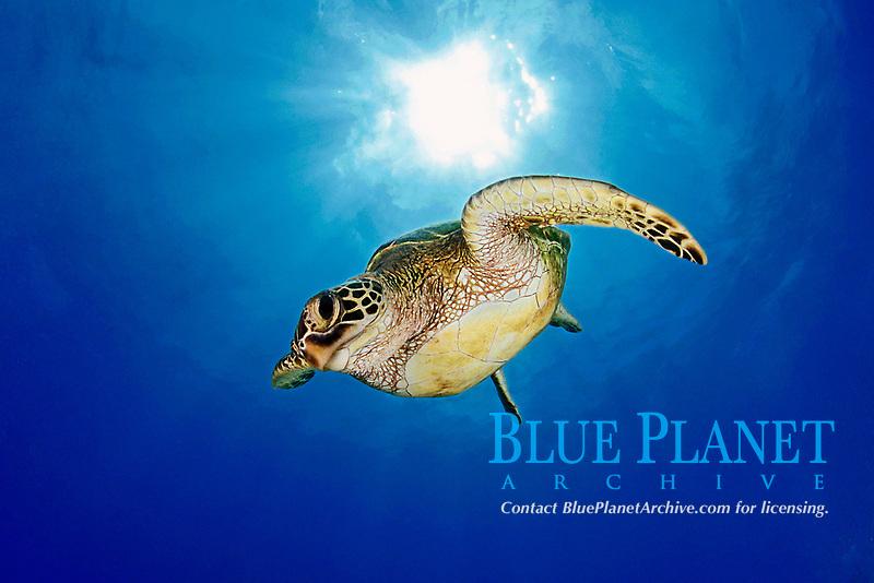 Green Sea Turtle, juvenile, Chelonia mydas, Hanauma Bay, Oahu, Hawaii, Pacific Ocean