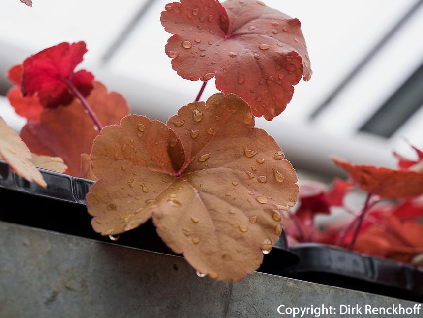 Purpurglöckchen (Heuchera Red Fury) in Gewächshaus, Bodensee - Insel Mainau, Baden-Württemberg, Deutschland, Europa<br /> alumroot (Heuchera Red Fury) in Greenhouse, Isle of Mainau, Lake Constance, Baden-Württemberg, Germany, Europe