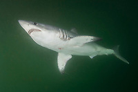 Porbeagle Shark, Lamna nasus, Bay of Fundy, New Brunswick, Canada, Atlantic Ocean
