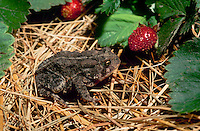 American toad in the vegetable garden near ripe strawberries looking over the produce