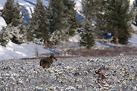 The alpha male of Yellowstone's Canyon pack inspects the northern end of his range at Swan Lake Flats.