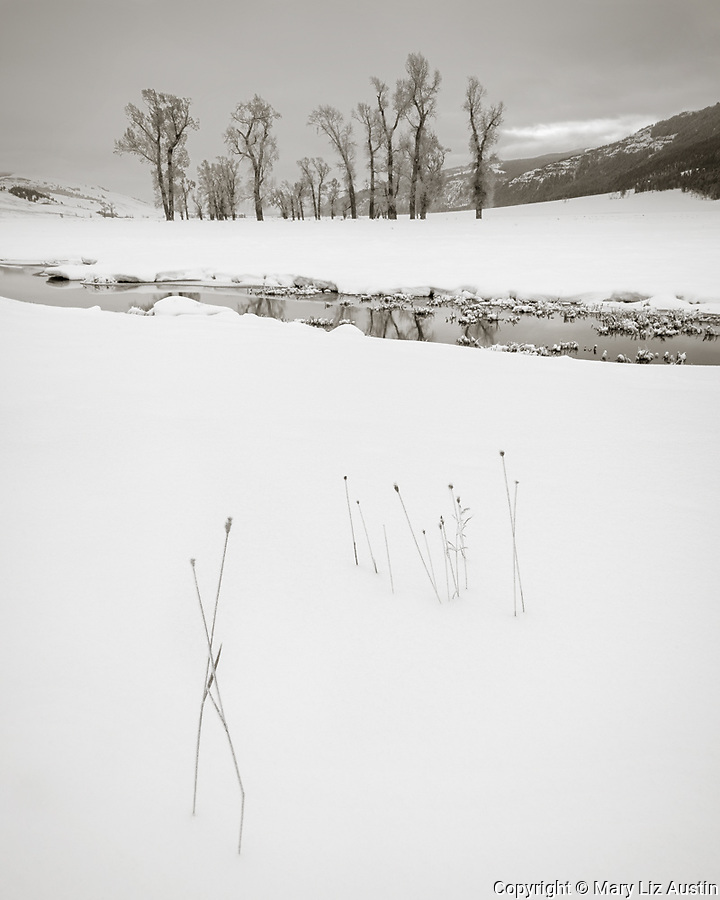 Yellowstone National Park, Wyoming: Grasses in the snow with cottonwood trees in the distance along the Lamar River in winter