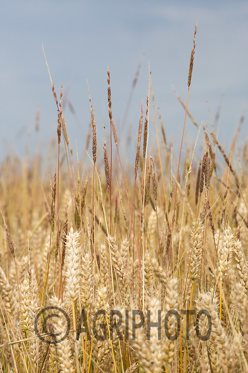 Black grass in Winter Wheat<br /> Picture Tim Scrivener 07850 303986<br /> ….Covering agriculture in the UK….