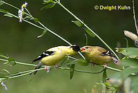 SW05-513z  American Goldfinch male feeding mate, Carduelis tristis