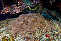 A Tasselled Wobbegong, Eucrossorhinus dasypogon, rests in a dark crevice on a shallow reef. Raja Ampat, Papua, Indonesia, Pacific Ocean