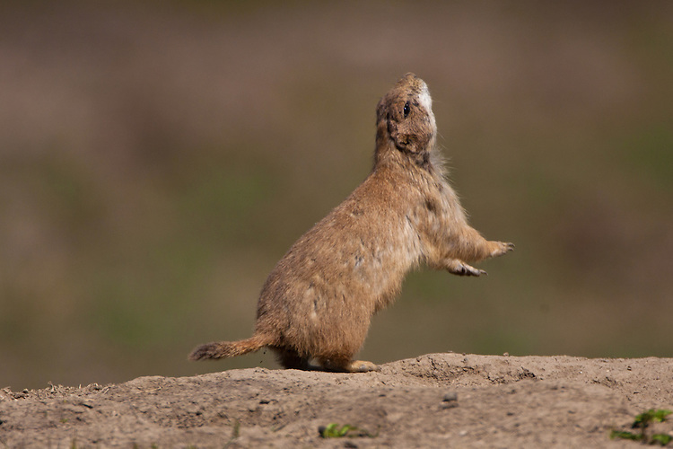 """Black-tailed Prairie Dog giving the """"all clear"""" signal"""