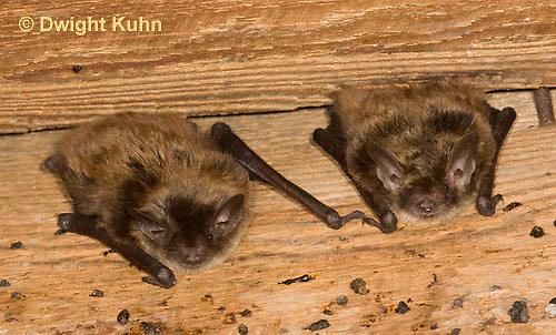 MA20-627z  Little Brown Bats, Myotis lucifugus