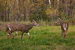 White-tailed deer in an autumn meadow.