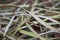 Weidenrinde, Weiden-Rinde, Rinde von einer Weide wird in Streifen abgzogen, Rinde, Rindenstreifen abziehen, Weide, Weiden, Salix spec., Sallow, Willow, rind, bark