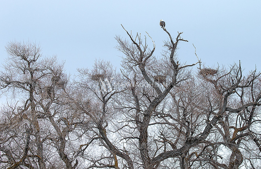 "An eagle perches atop the ""Eagle Willows"" at Lower Klamath National Wildlife Refuge."