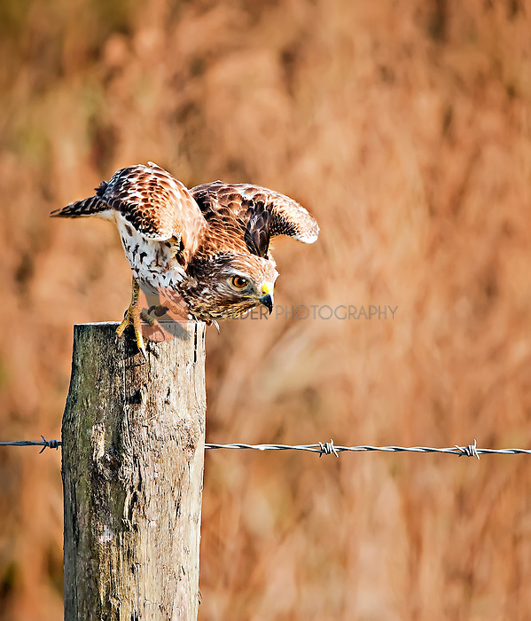 Red Shouldered Hawk taking off from fence post in Florida