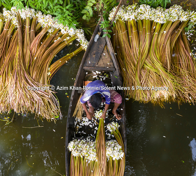 """Hundreds of aquatic water liles are collected by hand from a river in Bangladesh.<br /> <br /> The beautiful plants are the country's national flower, which blooms annualy in almost every body of water.<br /> <br /> The images were captured by Azim Khan Ronnie.  Azim said, """"once harvested, the water lilies are transported to local markets to be sold as vegetables.  One set of consists of about two dozen sticks, which sells for just 20 pence.  On average, 1200 sticks can be collected in a single day.  The workers in the boats collect the lilies from 4am to 9am, bunching them up to carry back in their boats.""""<br /> <br /> Please byline: Azim Khan Ronnie/Solent News<br /> <br /> © Azim Khan Ronnie/Solent News & Photo Agency<br /> UK +44 (0) 2380 458800"""