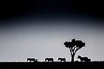 Kenya, Olare Motorogi Conservancy, plains zebras (Equus quagga)