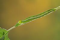 Zackeneule, Raupe frisst an Weide, Zimteule, Krebssuppe, Orangefarbene Zackeneule, Scoliopteryx libatrix, The herald, caterpillar, La Découpure, Eulenfalter, Noctuidae, noctuid moths, noctuid moth