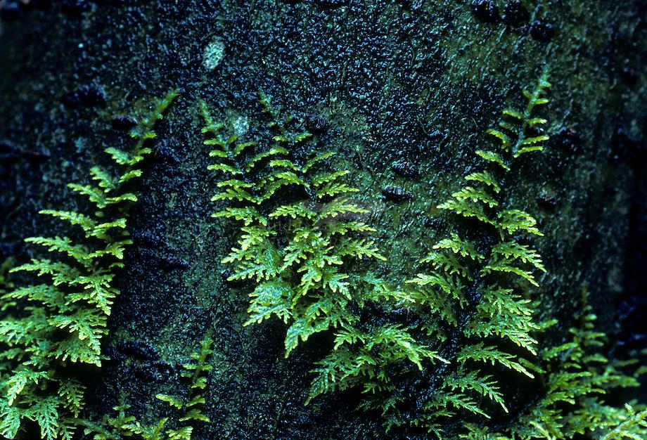 Gewoon thujamos (Thuidium tamariscinum)