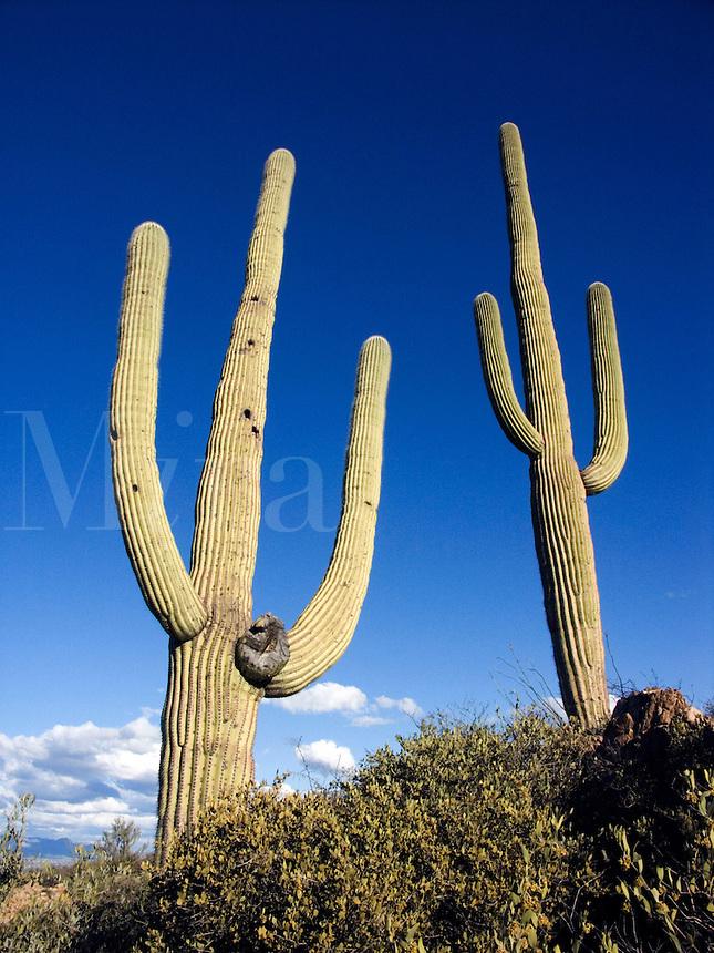 Arizona desert with Saguaro cactus in Tucson, Arizona<br />