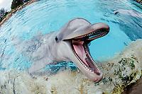 Bottlenose dolphin , Tursiops truncatus, USA, California, performing, San Diego