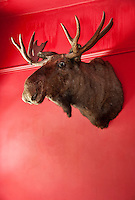 Moose head mounted on a wall.