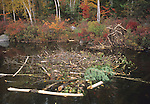 Cache and lodge of a colony of beavers in the Fall at Upper Togue Pond, Baxter State Park, Maine, USA
