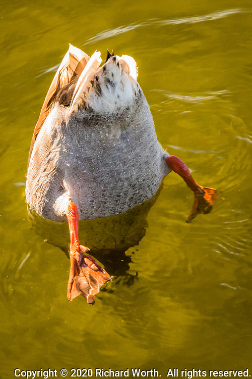 A female Mallard, a dabbling duck, tips its body to dip its head into the water and dabble for food, at a neighborhood park on a summer afternoon.