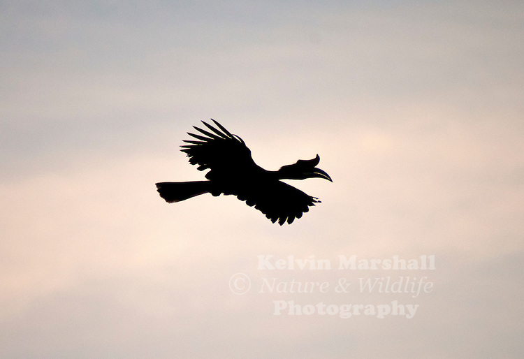 A Silhouette Image Of A Rhinocerous Hornbill Buceros Rhinoceros Kelvin Marshall Nature Wildlife Photography