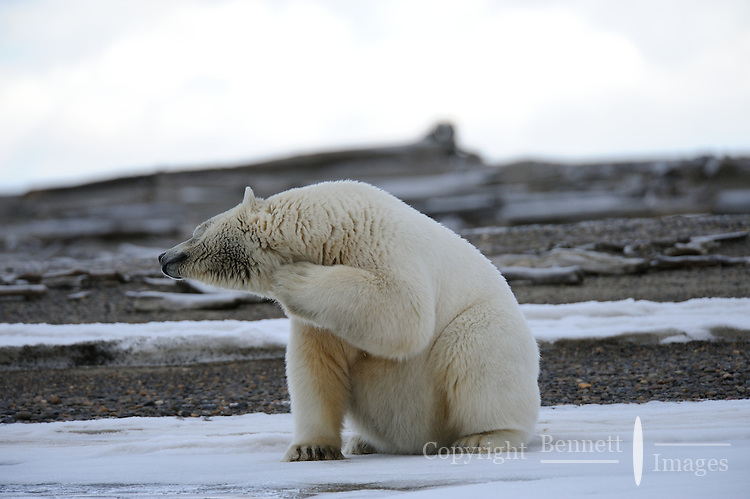 A polar bear scratches under its chin on a barrier island outside Kaktovik, Alaska. Every fall, polar bears gather near the community, on the northern edge of ANWR, waiting for the Arctic Ocean to freeze. The bears have become a symbol of global warming.
