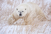 Polar Bear (Ursus maritimus) prowling through the snow and grass near Seal River, Manitoba, Canada