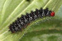 Wegerich-Scheckenfalter, Raupe frisst an Wegerich, Gemeiner Scheckenfalter, Melitaea cinxia, Mellicta cinxia, Glanville Fritillary, caterpillar
