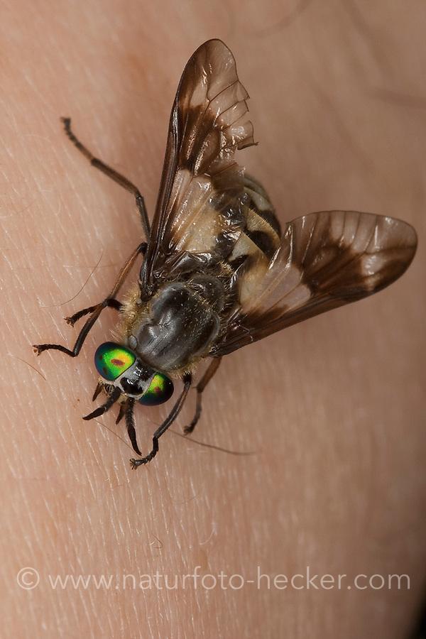Goldaugenbremse, Weibchen beim Stechen, Beißen auf menschlicher Haut, Goldaugen-Bremse, Bremse, Chrysops relictus, Deer fly, yellow fly, deerfly