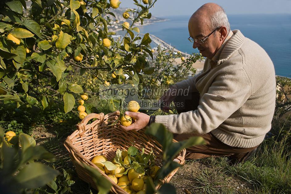 Europe/France/06/Alpes-Maritimes/Menton: Xavier Habart,récolte ses citrons de Menton dans son verger de l'Au-Delà [Non destiné à un usage publicitaire - Not intended for an advertising use]
