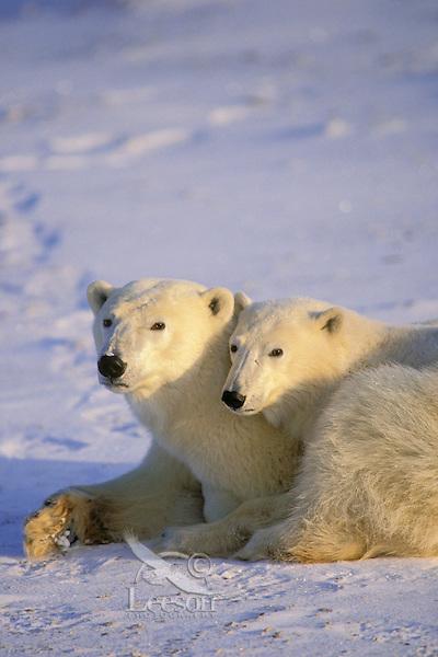 Polar bear (Ursus maritimus) female with second year cub.  Hudson Bay, Canada.
