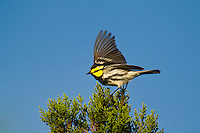 591850045 a wild federally endangered male golden-cheeked warbler setophaga chrysoparia - was dendroica chrysoparia - flaps his wings while perched in a fir tree on los madrones ranch near austin travis county texas