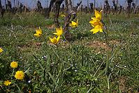 Wilde Tulpe, Wald-Tulpe, Waldtulpe, Weinberg-Tulpe, Tulipa sylvestris, wild tulip