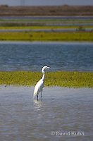 "0902-0902  Reddish Egret ""White Phase"" Wading in Marsh, Threatened species, Egretta rufescens © David Kuhn/Dwight Kuhn Photography"
