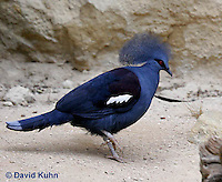 0908-0814  Western Crowned Pigeon, Goura cristata  © David Kuhn/Dwight Kuhn Photography.