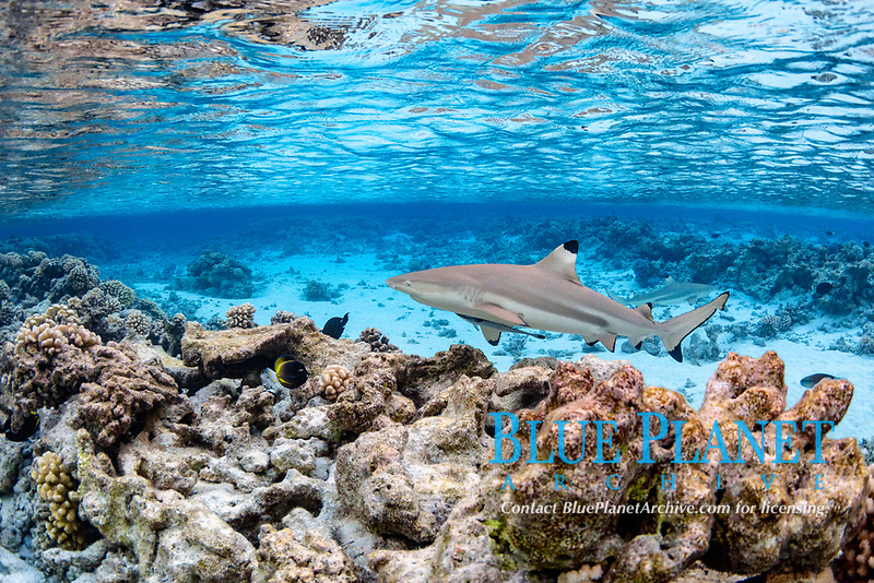 blacktip reef shark, Carcharhinus melanopterus, swimming over shallow coral reef, Fakarava, French Polynesia, South Pacific Ocean