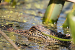 Brazoria County, Damon, Texas; a 2 to 3 foot juvenile American Alligator sunning itself at the surface of the slough, surrounded by water plants and reeds