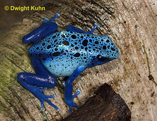 FR24-505z       Blue Poison Arrow Frog, Dendrobates azureus, Central America