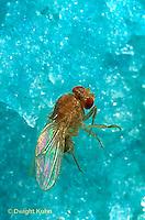 1D05-010d  Fruit Fly - Drosophila melanogaster