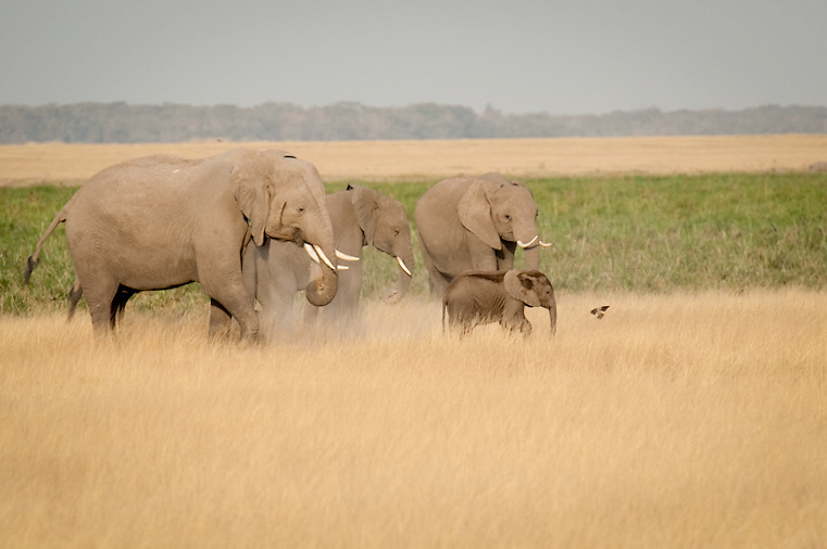 When pastures are readily available, elephants prefer grazing to browsing for bark, leaves, seeds, roots, fruit and branches. In such opportunity elephant diet will consist up to 70% grazing.