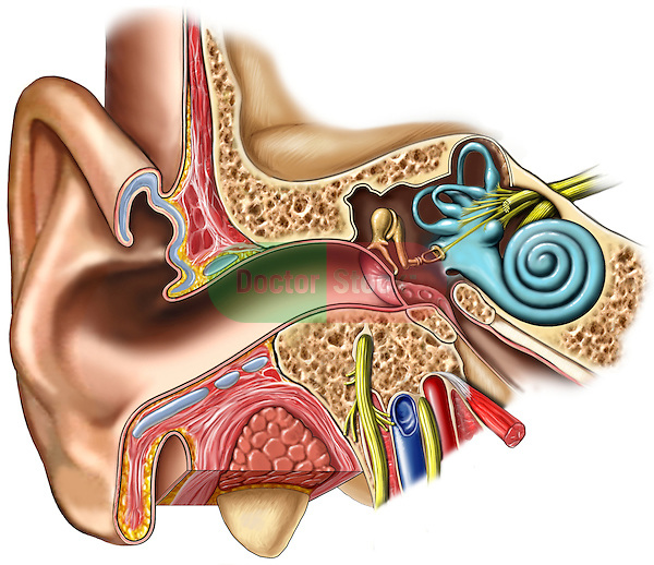 This high resolution image depicts the anatomy of the outer, middle and inner ear from an anterior (front) coronal (cut-away) view.  Shown are the external ear, auditory canal, tympanic membrane, cochlear nerve , inner ear ossicles including the hammer, mallet, stirrup (or incus, malleus and stapes), semicircular canals, and cochlea.