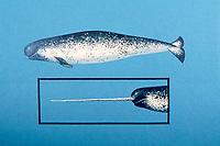 narwhal, Monodon monoceros, illustration