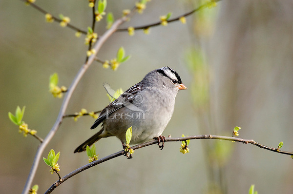 White-crowned Sparrow (Zonotrichia leucophrys). Spring. Point Pelee National Park, Ontario. Canada.
