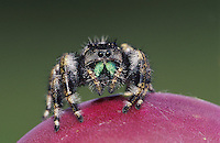 Daring Jumping Spider, Phidippus audax, adult on tuna (Fruit) of Texas Prickly Pear Cactus (Opuntia lindheimeri) , Willacy County, Rio Grande Valley, Texas, USA