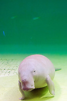 dugong, Dugong dugong (c), note plugged nose, Indo-Pacific Ocean