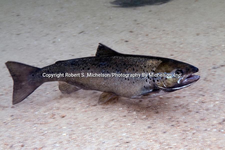 Landlock Atlantic Salmon female, Squam Lake, NH.