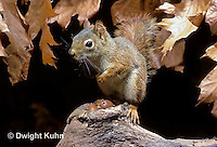 MA07-036z  Red Squirrel - sitting by tree cavity with acorns - Tamiasciurus hudsonicus